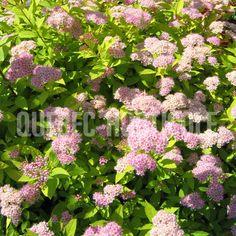 image de Spiraea japonica Gold Mound Planting Flowers, Photos, Gold, Image, Gardens, Plants, Pictures, Photographs, Cake Smash Pictures