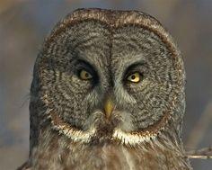 Great Gray Owl (Strix nebulosa) close-up - Picture 6 in Strix: nebulosa - Location: Ottawa, Canada. Photo by Neil Brazier.