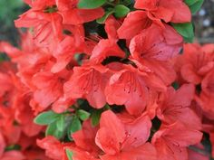 Azalia japońska 'Satschiko' = 'Geisha Orange' - Krzewy liściaste - Baza roślin - rosliny.urzadzamy.pl