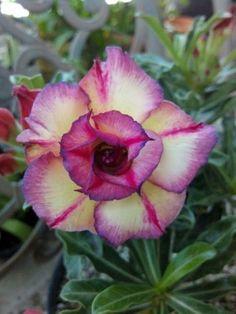 ccd1561601 4 Rare Purple Yellow Desert Rose Seeds Adenium Obesum Flower Perennial  Exotic  PetalandThornSeeds Dessert Rose