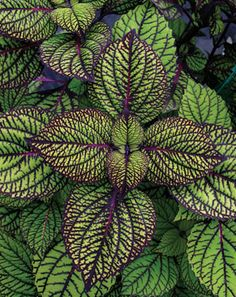 "Coleus ""fishnet stockings"" ....goodness I want this one.  ♥"