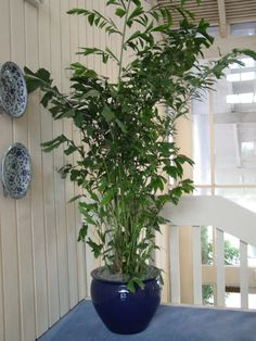 Fishtail Palm at top of stairway in blue container Interior Plants, Interior And Exterior, Low Humidity, Indoor Trees, Fiddle Leaf, Richmond Virginia, Foliage Plants, Ficus, Palmas