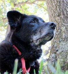 ASPCA Happy Tail: Old Dog, New Tricks.  The Hero in this story gave an older, multi-ailment black dog another chance & gained much!!