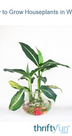 You don& need to have a green thumb to grow houseplants in water. Even if you& killed every houseplant growing in soil that you have ever had, your success is almost guaranteed when growing them in water. Hydroponic Gardening, Hydroponics, Gardening Tips, Indoor Gardening, Indoor Water Garden, Indoor Plants, House Plant Care, Garden Care, Water Plants