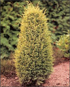 Gold Cone Juniper Upright, columnar, compact evergreen.  Bright yellow-tipped foliage.  Extremely vibrant. yellow-tipped foliage.  Extremely vibrant. Grows to 2m high and 60cm wide. Canadale Nurseries Ltd.
