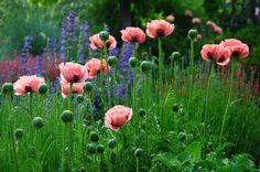 Pink flowers, poppy, flower field, meadow wallpaper