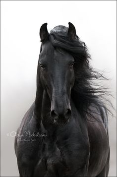 Friesian beauty 😍 Rate from Cute Horses, Pretty Horses, Horse Love, Black Horses, Wild Horses, Horse Photos, Horse Pictures, Most Beautiful Horses, Animals Beautiful