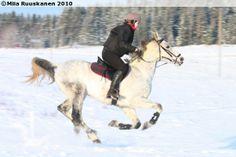 Anglo-Arabian gelding Salvador