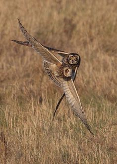 Short Eared Owls by Karen Summers,