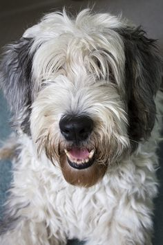 Old English sheepdogs on Pinterest | Old English Sheepdog, Sheep ...