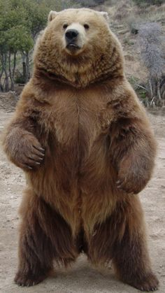 Grizzly Bear- even though he would probably rip me apart, I would love to give him a big bear hug