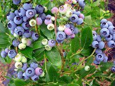 Amerikanska blåbär kan vara väldigt rikbärande med upp till 5 kg bär per buske.