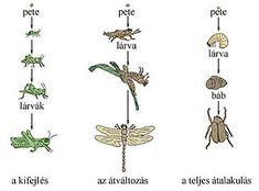 Az egyedfejlődési típusok rajzos összehasonlítása Nature Study, Life Cycles, Biology, Hair Accessories, Education, School, Google, Natural History, Hair Accessory