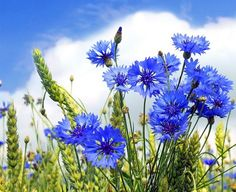 Find Landscape Summer Field Blue Cornflower Blue stock images in HD and millions of other royalty-free stock photos, illustrations and vectors in the Shutterstock collection. Thousands of new, high-quality pictures added every day.