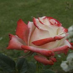 Red & White Rose 2