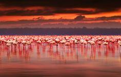 Afrikanische Flamingos vor einem atemberaubenden Sonnenuntergang im Nakuru National Park Reservat.