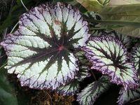 Pokojové begónie oslňují atraktivními listy Plant Leaves, Plants, Plant, Planting, Planets