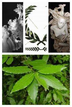Apollo, Dafne e la nascita dell'alloro