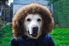 puppy yellow labrador retriever dog wearing a hood
