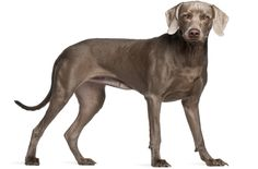 """Tell someone you own a """"Weimaraner"""" and there's a decent chance they might not know what you mean. But that's okay. However, show the same person your dog and they'll say """"Oh, sure – I know that breed!"""" It's hard to get past the Weimaraner when you're talking about friendly, confident dogs that are perfect [...]"""