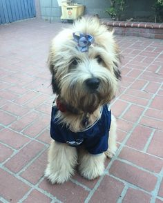 Meet Peggy a 7 month old Wheaten Terrier. Peggy loves to go on hikes, make new friends (dogs and people!) and obviously her Patriots! Peggy's mom found us on Instagram and we're so glad she did! We look forward to watching this cutie grow!