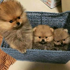 Basket of pomeranian puppies