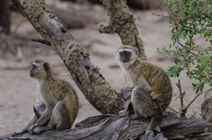 Vervet Monkeys develop close social bonds with female relatives in infancy; relationships thought to endure throughout life. Infants are of great interest to the other monkeys in the troop; subadult females do everything possible to be allowed to groom or hold a new infant. : Michael Jansen on Flickr