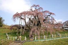 Miharu weeping cherry tree