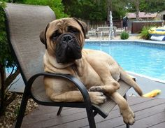 Bullmastiff. This reminds me of duke. He loves to sit in our exact same chair!