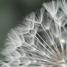 Dandelion puff / Marie Claude Strausz