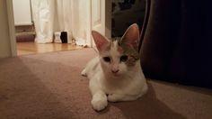 Yuna Cat | Pawshake