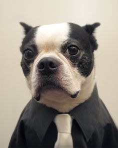 pinner said: They say dogs and their owners resemble each other - Meet my dad, or his Boston Terrier!