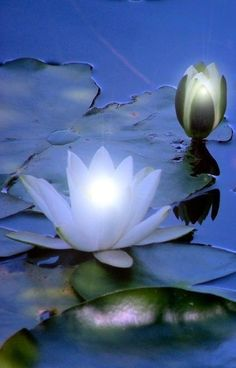 Lotus emergence with glowing lily pads! Water Flowers, Flowers Nature, Exotic Flowers, My Flower, Flower Power, Beautiful Flowers, Nymphaea Lotus, Gras, Planting Flowers