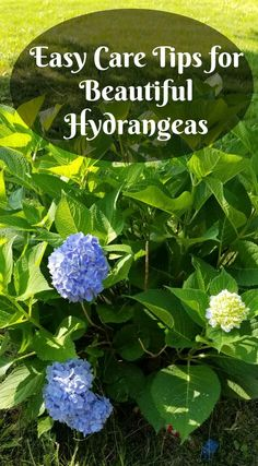 Gardening Easy care tips for beautiful hydrangeas, green shrub with blue flowers Unique Candle Chand Pruning Hydrangeas, Hydrangea Landscaping, Caring For Hydrangeas, Landscaping Ideas, Garden Landscaping, Garden Shrubs, Shade Garden, Herb Garden, Garden Paths