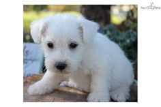 Charlie: the Schnoodle puppy = love!