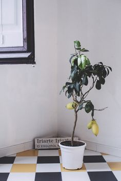 Sweet little lemon tree in a Barcelona studio via  Freunde von Freunden —http://www.freundevonfreunden.com/workplaces/carolina-iriarte/