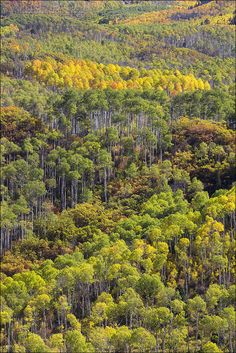 Colorado Aspen Trees Changing From Green to Yellow