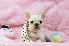 ✯ ✰ ★Stunning Cream & White French Bulldog Felicia✯ ✰ ★ Bring Her Home…