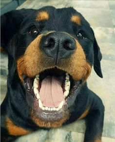 Rottie smiles are the best!