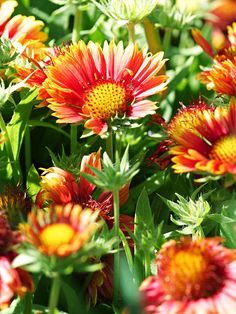 Blanket Flower  A tough prairie plant, gaillardia blooms all summer and into fall. Its flamboyant flowers are usually marked with bright shades of red and yellow.  Name: Gaillardia 'Kobold'  Conditions: Full sun and well-drained soil  Size: To 3 feet tall  Zones: 3-8