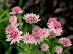 Astrantia Major, My Flower, Flower Power, Circular Lawn, Compost, West Facing Garden, Back Garden Design, Garden Privacy, Horticulture