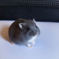 Russian Blue Dwarf Hamster - a photo on Flickriver