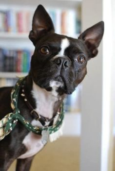50 Wicked Adorable Pictures Of Boston Terriers