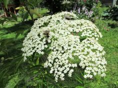 Elderberry plants can be expensive to buy, but it's easy to grow elderberries from cuttings. Elderberry Cuttings, Elderberry Plant, Elderberry Flower, Elderberry Gummies, Elderberry Recipes, Elderberry Syrup, Garden Seating, Potting Soil, Propagation