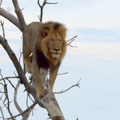 - This Lion stuck on a tree Cute Cat Gif, Cute Funny Animals, Funny Animal Pictures, Funny Animal Memes, Wild Animals Attack, Animal Attack, Beautiful Cats, Animals Beautiful, Animals And Pets