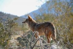 Coyote, Desert Museum, Tucson, Arizona