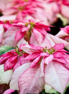 Beautiful - poinesettia - Christmas feelings - shades of pink