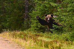 Photo: Lauri Jokela (a bear in the wild, no manipulation).  http://www.ksml.fi/uutiset/kotimaa/koira-heratti-karhun-ja-yritti-naykkaista-takapuolesta-katso-kuvat/1262988