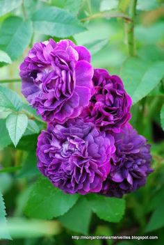 Love this picture of the purple rose 'Cardinal de Richelieu'