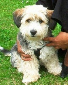 Sussie the Bichon Yorkie sitting in grass with a person holding them near